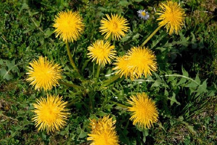 Ταραξάκο: Το βότανο που ωφελεί συκώτι, σάκχαρο, ανοσοποιητικό